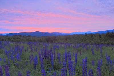 Lupine Field At Dawn Sugar Hill White Mountains Poster by John Burk