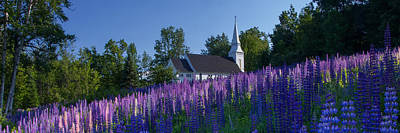 Lupines At St. Matthews In Sugar Hill Poster