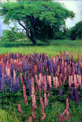 Lupines Midcoast Maine Poster