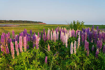 Lupins By The Beach Poster by Matt Dobson
