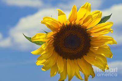 Lus Na Greine - Sunflower On Blue Sky Poster by Sharon Mau