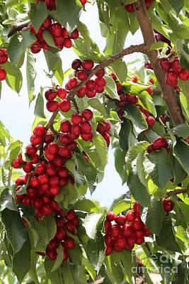 Luscious Cherries Poster