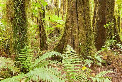 Lush Ferns In Sub-tropical Nz Kahikatea Rainforest Poster
