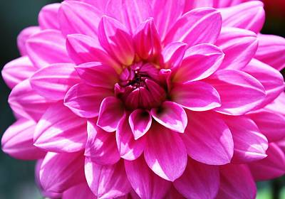 Poster featuring the photograph Lush Pink Dahlia by Judy Palkimas