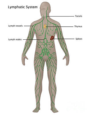 Lymphatic System In Male Anatomy Poster by Gwen Shockey