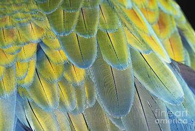 Macaw Feathers Poster by George D Lepp