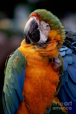 Macaw Poster by Ivete Basso Photography