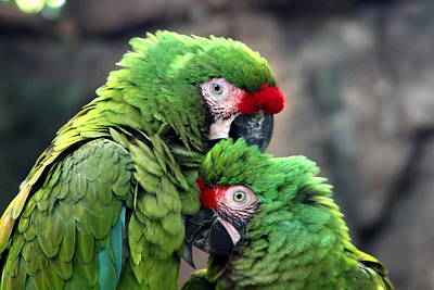 Macaws In Love Poster by Diane Merkle