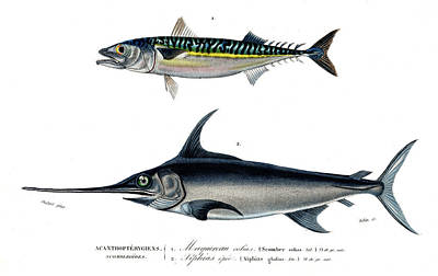 Mackerel And Swordfish Poster by Collection Abecasis