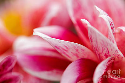 Poster featuring the photograph Macro Image Of A Pink Flower by Nick  Biemans