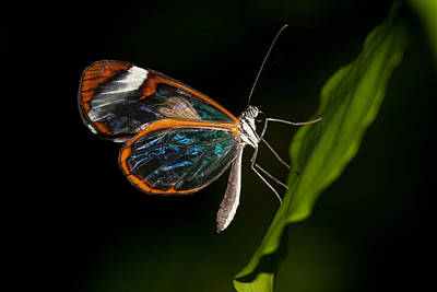 Poster featuring the photograph Macro Photograph Of A Glasswinged Butterfly by Zoe Ferrie