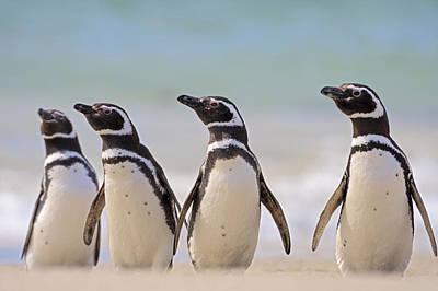 Magellanic Penguins Carcass Island Poster by Heike Odermatt