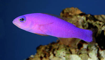 Magenta Dottyback Poster by Nigel Downer
