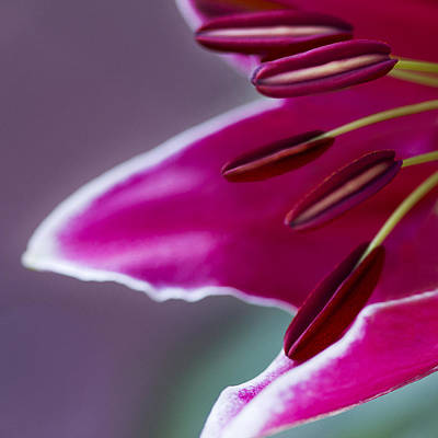 Magenta Lily Poster by Barbara Smith