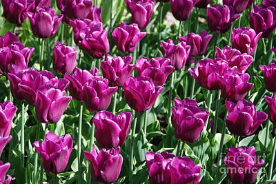 Poster featuring the photograph Magenta Tulips by Allen Beatty