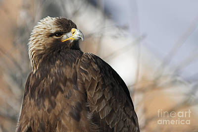Magnificent Golden Eagle Hunting For Prey Poster
