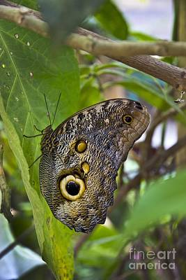 Magnificent Huge Butterfly In Mindo Ecuador Poster