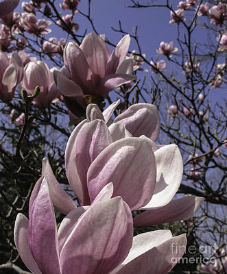 Magnificent Magnolia Poster by Arlene Carmel