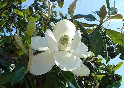 Magnificent Magnolia Poster by June Holwell