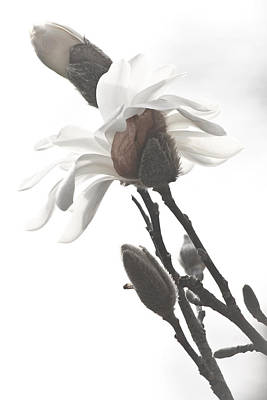 Poster featuring the photograph Magnolia Bloom by Tammy Schneider