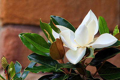 Magnolia Blossom With Bud Poster by Linda Phelps