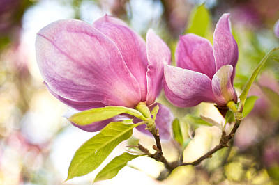 Poster featuring the photograph Magnolia Flowers by Crystal Hoeveler