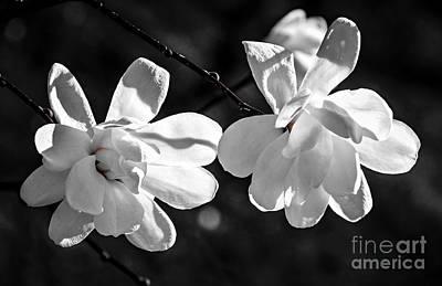 Magnolia Flowers Poster by Elena Elisseeva