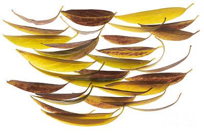 Magnolia Grandiflora02 Poster