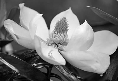 Magnolia In May - Black And White Poster by Suzanne Gaff