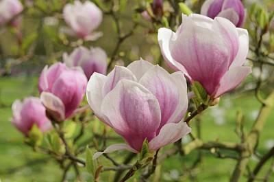 Magnolia X Soulangeana Flowers Poster by Jane Sugarman