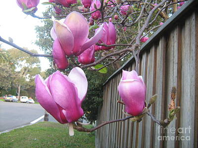 Poster featuring the photograph Magnolias In Bloom by Leanne Seymour