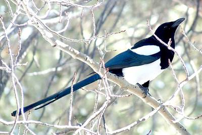 Magpie On Aspen Tree Poster