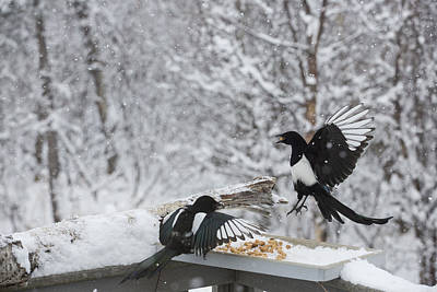 Magpies Dropping In For Lunch Poster by Tim Grams
