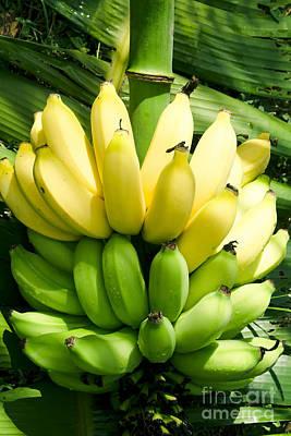 Maia Maole Banana Makawao Maui Hawaii Poster
