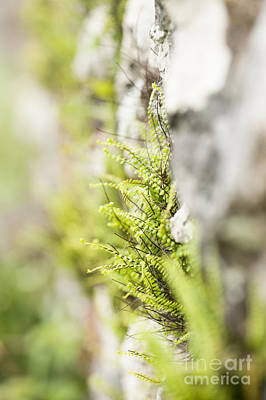 Maiden-hair Spleenwort Poster by Anne Gilbert