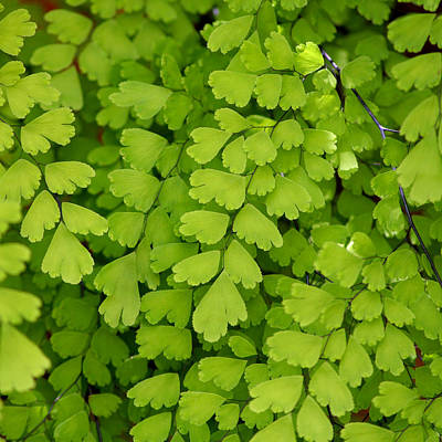 Maidenhair Fern Poster by Art Block Collections