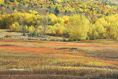 Maine Blueberry Field -fall Folige - Forest Poster
