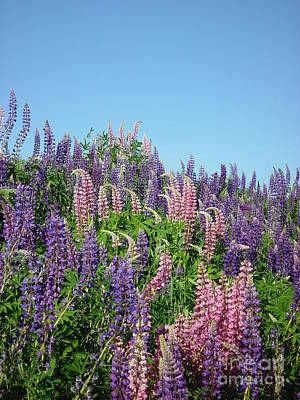 Maine Lupine Poster
