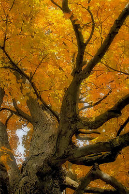 Poster featuring the photograph Majestic Maple by Gary Hall