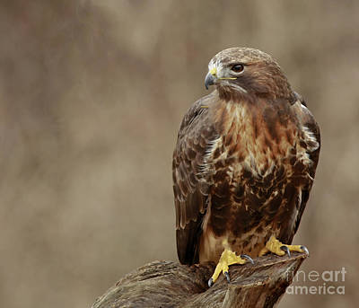 Majestic Redtailed Hawk Poster by Inspired Nature Photography Fine Art Photography
