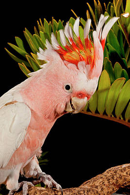 Major Mitchell's Cockatoo, Lophochroa Poster by David Northcott