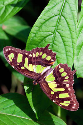 Malachite Butterfly (siproeta Stelenes Poster by Susan Degginger