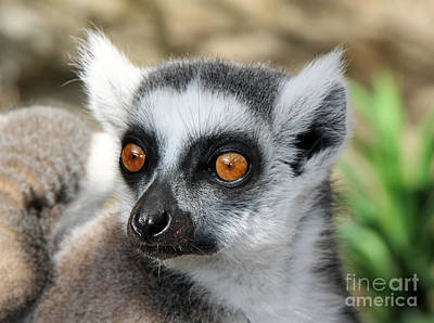Poster featuring the photograph Malagasy Lemur by Sergey Lukashin