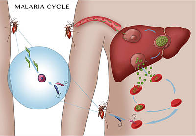 Malaria Cycle, Illustration Poster by Monica Schroeder