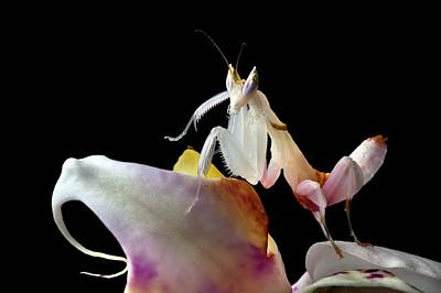 Malaysian Orchid Mantis Poster by Alex Hyde