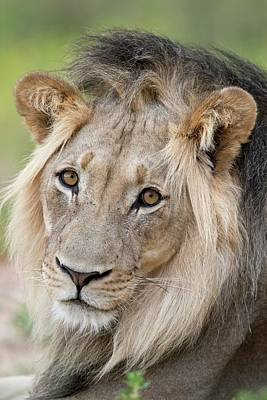 Male African Lion Portrait Poster by Tony Camacho