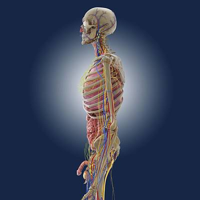 Male Anatomy, Artwork Poster by Science Photo Library