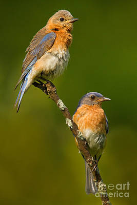 Male And Female Bluebirds Poster by Jerry Fornarotto