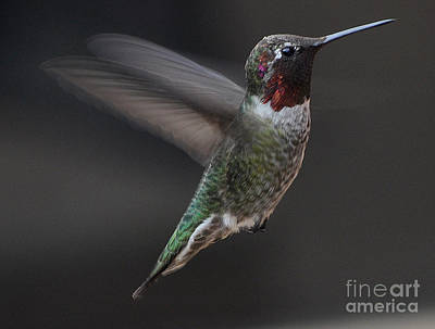 Poster featuring the photograph Male Anna Hummingbird In Flight by Jay Milo