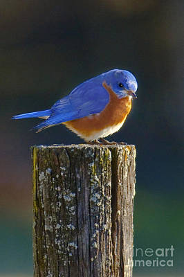 Male Bluebird Poster by Ronald Lutz